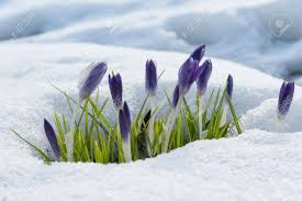 crocus emerging from snow